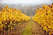 Domaine de Joy vineyards, Armagnac, Panjas, Midi-Pyrenees, France