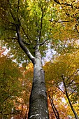 Autumn time, Old beech tree in deciduous forest - Naturpark Altmuehltal, Bavaria/Germany