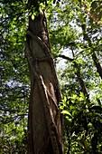 Ficus aurea, the Florida strangler fig growing around a cypress tree in Florida, USA.