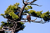 The Bald Eagle (Haliaeetus leucocephalus) is a bird of prey found in North America. It is the national bird and symbol of the United States of America. This sea eagle has two known sub-species and forms a species pair with the White-tailed Eagle. Its rang
