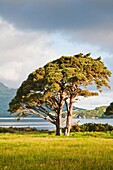 Solitary tree in the morning light at Muckross Lake, County Kerry, Ireland, Europe