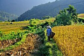 Vietnam, province of Hoa Binh, national Park of Cuc Phuong, Ban Hieu, Thai ethnic group people working in rice fields in terrace