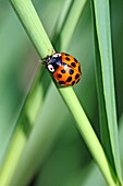 Harlequin Ladybird, Harmonia Axyridis var  succinea, Fourteen-spotted red ladybird  Sometimes it can be conused with aother ladybirds because the elytra color can vary from yellow to dark red  Legs are red  Harmonia Axyridis, an Asian native, is an intern