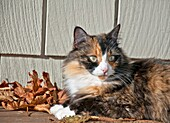 This pet cat is laying down outdoors on a porch with siding in the background and autumn leaves She is a long haired calico feline with striking green eyes and white boot feet