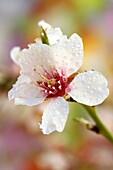 Droplets on almond tree flowers Prunus amygdalus or communis