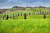 A road of cypress trees in a grassland locality La Foce Tuscany Italy