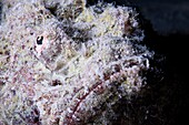 Reef Stonefish Synanceia verrucosa camouflaged among coral  Its eye is seen at centre  This solitary fish inhabits reefs of the Indo- Pacific region, indistinguishable from the rocks amongst which it hides  The stonefish feeds on smaller fish and crustace