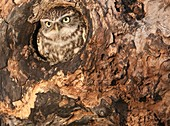 Little owl Athene noctua in hole in hollow tree The little owl is a diminutive species, which possesses a plump, round body, bright yellow eyes and spotted plumage One of the most diurnal species of owl, in some parts of its range the little owl often hun