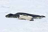 A mother and newborn pup leopard seal Hydrurga leptonyx hauled out on ice floes on the western side of the Antarctic peninsula, southern ocean  This is the only pinniped known to have attacked and killed a human snorkeler in Antarctica
