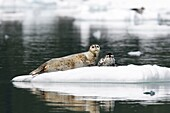 Mother and pup harbor seal Phoca vitulina on icebergs calved from the LeConte Glacier just outside Petersburg, Southeast Alaska  Mother harbor seals gather here each May to give birth to pups on ice