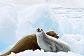 Crabeater seal Lobodon carcinophaga hauled out on ice floe near the Antarctic Peninsula, Antarctica  MORE INFO Crabeater seals often exhibit spiral scarring on their bodies, most likely from attacks by leopard seals, or more rarely, killer whales  These s