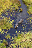 Aerial view of Hippopotamus (Hippopotamus amphibius), in a water channels, Okavango Delta, Botswana. The vast inland delta is formed from the Okavango River. This flows into the Delta, creating a beautiful mosaic of water channels, grasslands, forests and