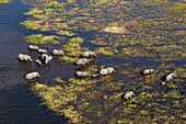 Aerial view of African Elephants (Loxodonta africana), crossing the river, Okavango Delta, Botswana. The Okavango Delta is home to a rich array of wildlife. Elephants, Cape buffalo, hippopotamus, impala, zebras, lechwe and wildebeest are just some of the