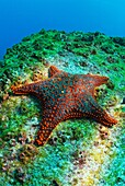 Panamic Cushion Star Pentaceraster cumingi on rock, underwater view, Ecuador, Galapagos Archipelago, Espanola Island