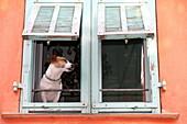 Dog at window, Villefrance-sur-Mer, touristic village in Cote d'Azur, France.