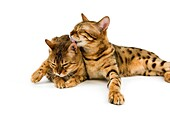 BROWN SPOTTED TABBY BENGAL DOMESTIC CAT, PAIR GROOMING