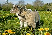 3 Months Old Pygmy Goat or Dwarf Goat, capra hircus.