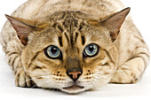 Seal Mink Tabby Bengale Male Domestic Cat against White Background.