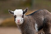 Baby goat at childrens zoo