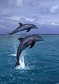 Bottlenose dolphin.Tursiops truncatus.Carribean. Off Roatan Island, Honduras, Central America.