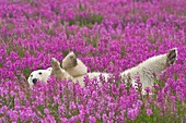 Polar Bear (Ursa maritimus) in fireweed (Epilobium angustifolium) on an island off the sub-arctic coast of Hudson Bay, Churchill, Manitoba, Canada. Bears come to spend the summer loafing on the island and looking for a careless seal or dead whale to wash
