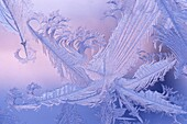 Window frost abstract feathers at sunrise in winter Kleefeld Manitoba Canada.