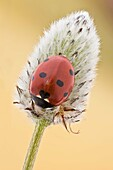 This is the most common ladybird in Europe, introduced in many countries as pests control agents as they are voracious predators of aphids.