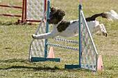 A brown and white Spaniel mix jumping over a wingless jump agility equipment in a field.