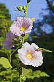Hollyhock alcea rosea fam malvaceae, Pune, Maharashtra, India.