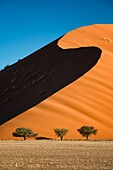 Landscape photo of three camelthorn trees below a large dune. Sossusvlei, Namib Naukluft National Park, Namibia.