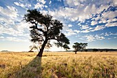 Landscape photo of a camelthorn tree silhouetted against a sunset sky. Namib Naukluft National Park, Namibia.
