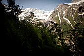 Fern, Glacier in the background, Lower Grindelwald glacier, Bernese Oberland, Switzerland