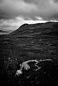 Skeleton of a sheep in landscape, Westfjords, Iceland