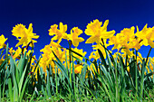 Flower, flowers, flower splendour, blossom, flourish, field, frog perspective, spring, garden, garden flower, yellow narcissus, sky, macro, Narcissus pseudonarcissus, narcissus, daffodil, Easter, perspective, wide corner, blue, sky, blossom, bright, close