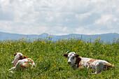 Cows lying in a flowering meadow, near Reutberg Abbey, near Sachsenkamm, foothills of the Alps, Landkreis Bad Toelz- Wolfratshausen, Upper Bavaria, Bavaria, Germany, Europe