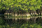 Red mangrove (Rhizophora mangle) reflected in slough, Ding Darling NWR, Florida, USA