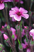 Geranium Maderense purple flower