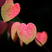 distinctive Katsura heart shaped leaf in Autumn.