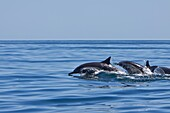 Long-beaked Common Dolphin pod Delphinus capensis encountered traveling off Isla Danzante in the southern Gulf of California Sea of Cortez, Baja California Sur, Mexico