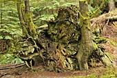 root system of fallen western red cedar Thuja plicata, Buntzen Lake Recreation Area, Anmore, British Columbia, Canada