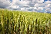 Grain field, Finland.