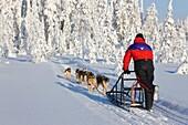 Slegde dog touring in Isosyote Finland