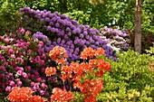 Rhododendrons in Botanical Garden, Powsin, Poland, Europe