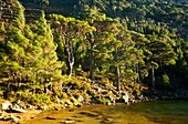 Scotland, Scottish Highlands, Cairngorms National Park  Heavy winds sway the branches of Scots Pines, surrounding the Lochan Uaine in the Glenmore Forest Park