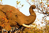 African Elephant Loxodonta africana, eating mopane leafs  , Kruger National Park, South Africa