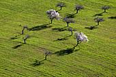 Almond trees in flowers in the farm land, Mallorca lands, Balearic Island, Spain.