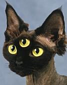 Devon Rex Domestic Cat, Portrait, Digital Composite