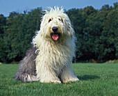 Bobtail Dog or Old English Sheepdog standing on Lawn.