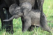 The baby elephant is always within about 50 meters of the mother, it goes where the mother goes. The bond between the two is extremely strong.
