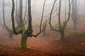 Beech forest trasmocha the Gorbea Natural Park, acquire a characteristic shape of candlestick product of cutting the trunk at a height of 2 to 3 meters, the systematic cutting of its branches for use in the manufacture of charcoal.